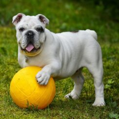 Playful Bulldog And His Chicken Friends