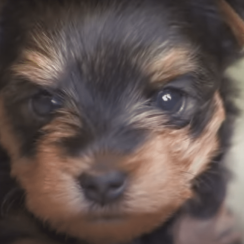 Three-Week-Old Terriers Chase The Intruders Away