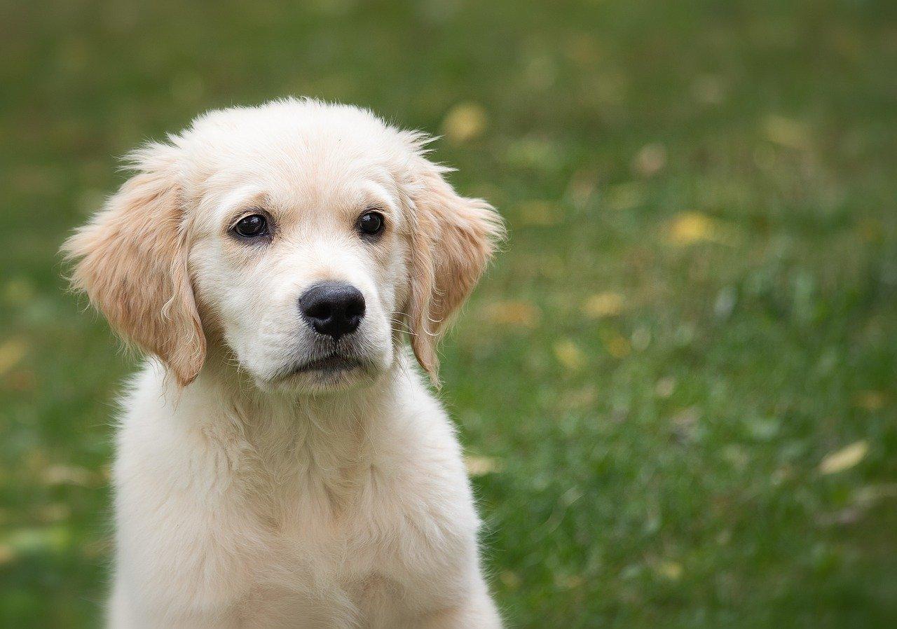 dog, animal, puppy
