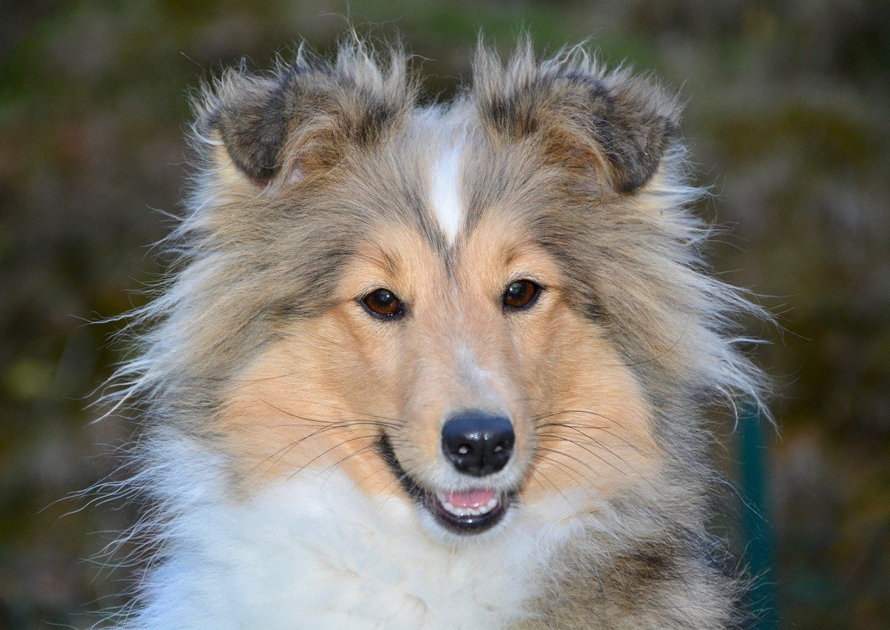 dog, bitch, shetland sheepdog