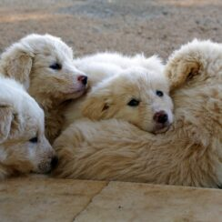 Puppies Play A Game With A Stuffed Toy