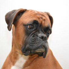 Couple Adopts Blind Boxer