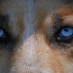 Injured Wolf Dog Recused